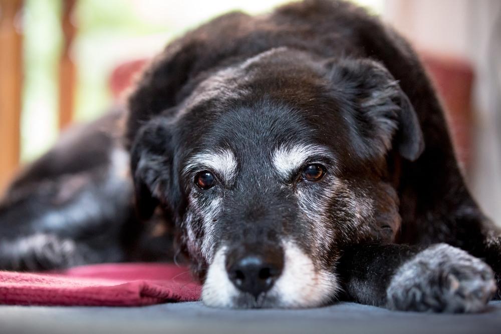 Cómo saber si tu perrito ya está envejeciendo?