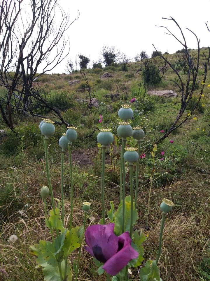LOCALIZAN SEMBRADÍO DE AMAPOLA EN TIJUANA.Más de tres hectáreas,dos millones de plantas