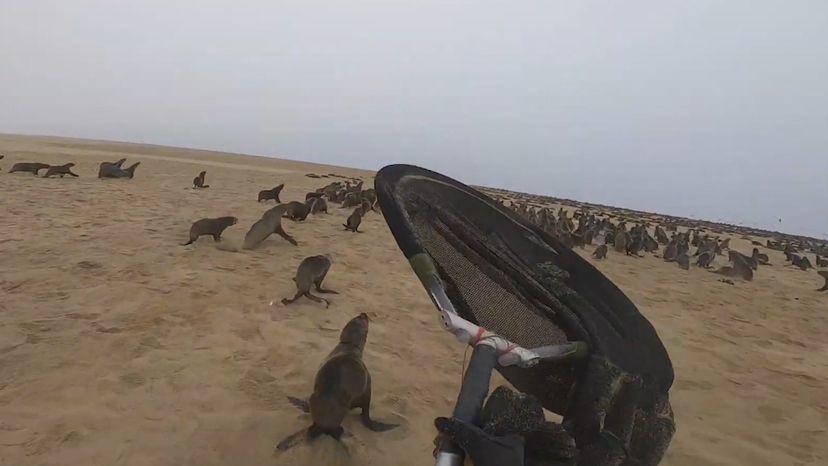 LA CAZA DE LOBOS MARINOS EN NAMIBIA PARA SALVARLOS DEL PLÁSTICO.VIDEO Periódico El País